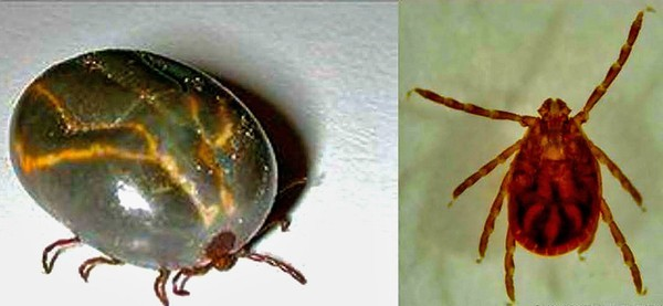 The East Asian Tick, shown here before and after feeding, was discovered in Bergen County. (Photo courtesy New Jersey Department of Agriculture)