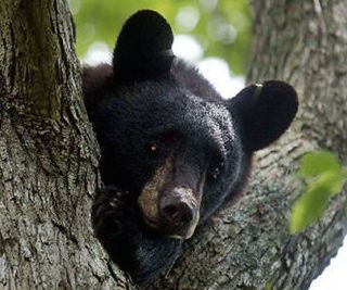 One of New Jersey's estimated 2,500 black bears shown in this NJ Advance Media file photo. (file photo)