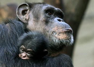 Merck and other pharmaceutical companies say they will stop using chimpanzees for their research.