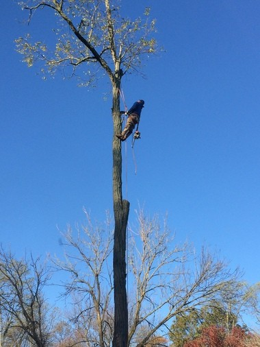 One of the workers we hired, taking down the 65-foot tree.