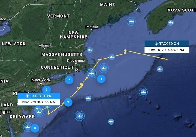 Jane was tagged in Canadian waters in October and has since traveled toward the Jersey Shore. (OCEARCH)