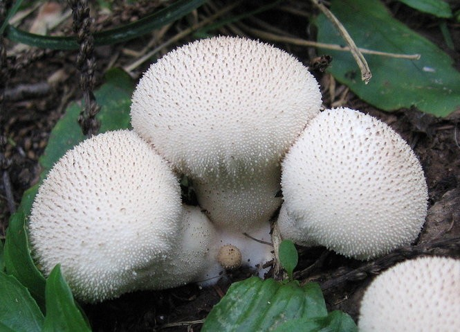 Do not eat these mushrooms found in N J  They can kill you