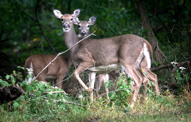 Deer in Ewing in this 2013 file photo.