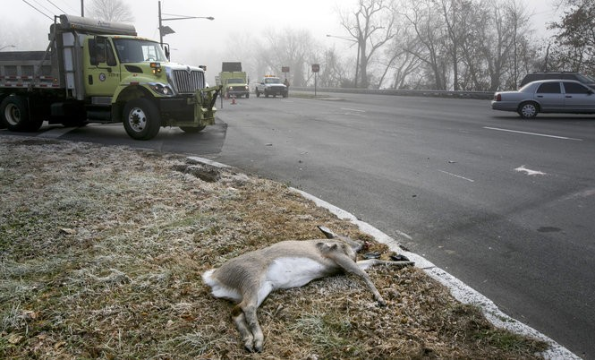 A deer killed in a multi-vehicle crash on Route 29 in Ewing in the fall of 2017. (File photo)
