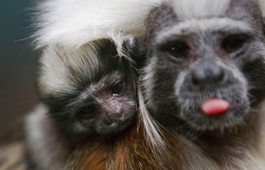 Annie, one of four tamarin monkeys living at the Liberty Science Center, gave birth last week to a tiny baby. Annie and her mate Mazzanti are caring for the new addition along with their one-year-old twins Emilia and Sophia.