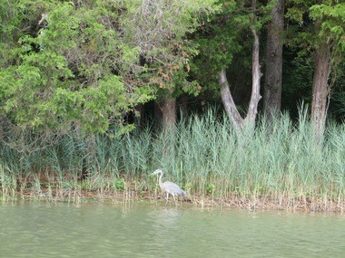 Kayak along the St. Michaels Water Trail and you may just have a great blue heron for company