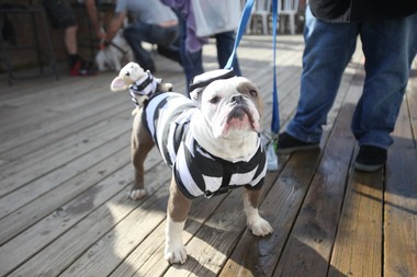 "Knuckles, of Monroe, is dressed as a prisoner. Wonder Bar's ""Yappy Hour"" dog-friendly outdoor bar holds its annual Halloween costume party and parade in Asbury Park on Saturday, Oct. 18."