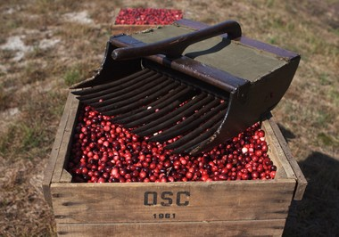 A cranberry scoop at Cutts Brothers Farm in Bass River Township. (David Smith)