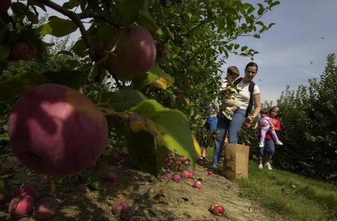 Apples at Terhune Orchards in Lawrence Township. Terhune's Apple Day is Sept. 12. (Ed Murray | NJ Advance Media for NJ.com)