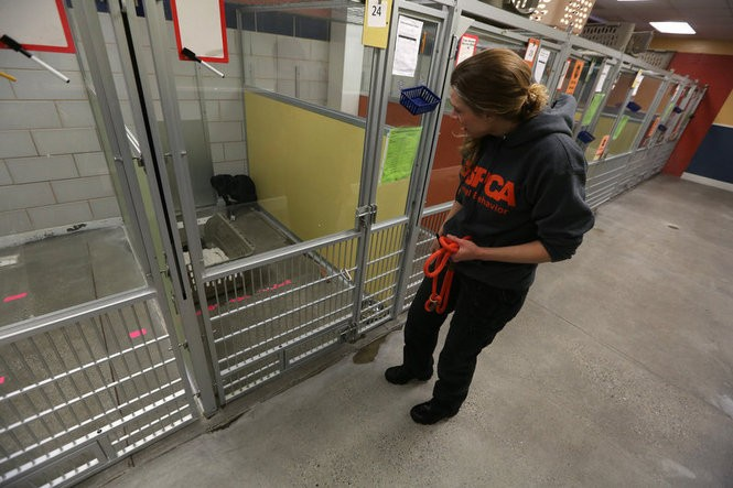 Kristen Collins is director of the ASPCA's Behavioral Rehabilitation Center at St. Hubert's Animal Welfare Center in Madison. The program's goal is to rehabilitate fearful, under-socialized dogs for placement in homes. (Andre Malok | NJ Advance Media for NJ.com)