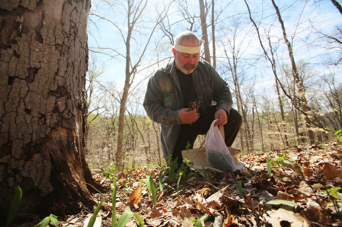 Ralph DiMeo of Dining Wild fills a bag with ramp leaves in the woods of northern New Jersey on April 19, 2016. (Brian Donohue | NJ Advance Media for NJ.com)