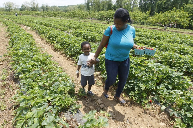 Nadine Dorce and her son Landon Belizaire pick strawberries at Alstede Farms' Strawberry Harvest Festival. (Patti Sapone | NJ Advance Media for NJ.com)