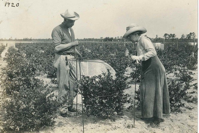 Frederick Coville's work with blueberry cultivation moved Elizabeth White to begin collecting blueberry bushes from locals. The fruits were initially known as 'swamp huckleberries.' (Courtesy Historic Whitesbog Village/Whitesbog Preservation Trust)