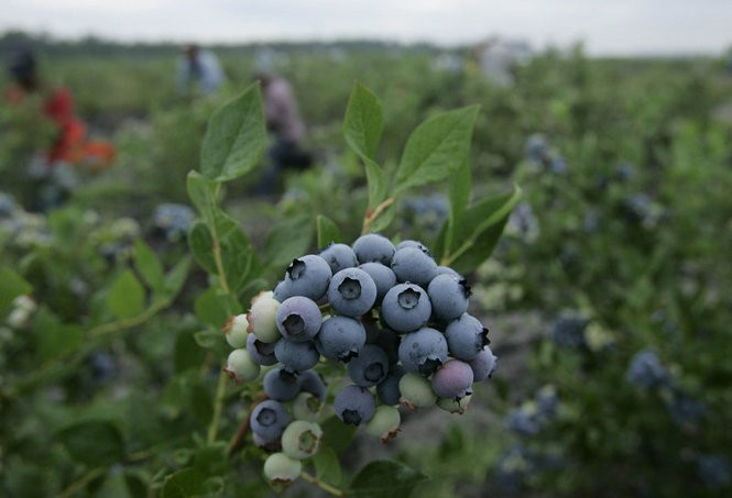 "Blueberries on the bush at Atlantic Blueberry Company in Hammonton. The Atlantic County town is known as the ""blueberry capital of the world."" (Noah Addis/The Star-Ledger)"