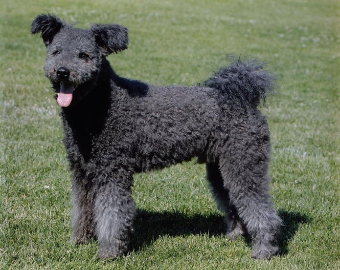 The pumi, an addition to Westminster's herding group, was used to herd pigs, sheep and cattle in in western Hungary. (Westminster Kennel Club)