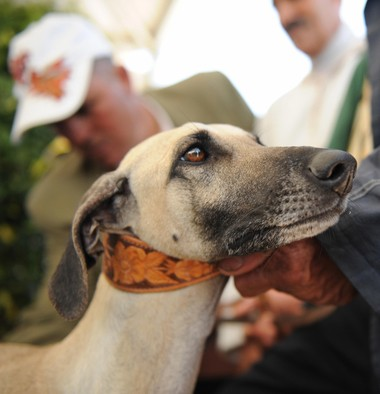 The sloughi, a new addition to the Westminster hound group, is an ancient sighthound bred by the Bedouins and Berbers to hunt rabbits, gazelles, boars and jackals in Morocco, Tunisia, Libya and Algeria. (Abdelhak Senna/AFP/Getty Images)