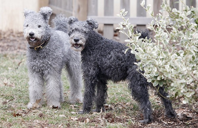 Bikfic, at left, with his half brother Csibesz at home in Somerville. Bikfic, with his more curly coat, represents the current breed standard. (Aristide Economopoulos | NJ Advance Media for NJ.com)