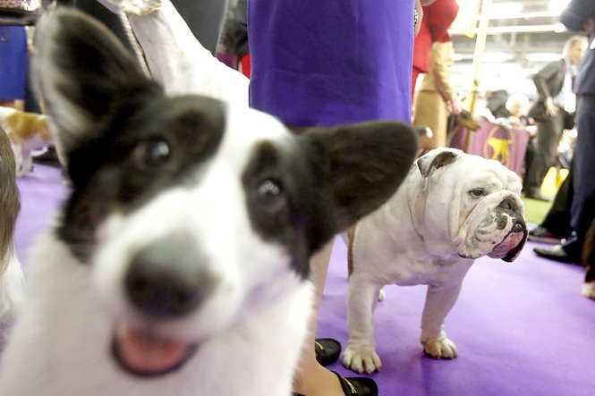 Dogs at breed competition on Feb. 13 at Piers 92 and 94 in New York. (Aristide Economopoulos   NJ Advance Media for NJ.com)