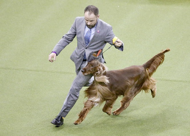 An Irish setter named Adrian, from Ocean City, was awarded reserve best in show, Westminster's honor for runner-up. (Aristide Economopoulos   NJ Advance Media for NJ.com)