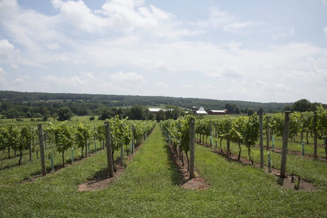 Unionville Vineyards specializes in dry, vinifera grapes - like Chardonnay - which grow well in the cooler climate of northern New Jersey.