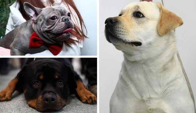 Here are the 10 most popular dog breeds in N J  for 2017