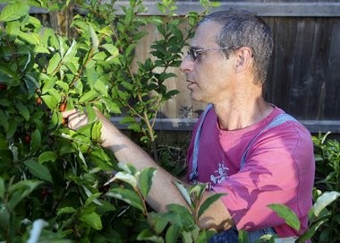 Mike Brown searches for a ripe goumi berry at Pitspone Farm, his backyard nursery in Kendall Park specializing in unusual berries.