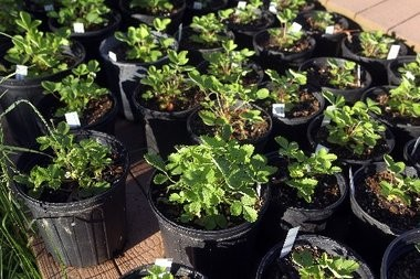 Potted alpine strawberries are available for purchase at Pitspone Farm.