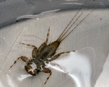 A photo of a flathead mayfly collected from the Blackwood Lake Dam in July of 2009, which was included in the South Jersey Land and Water Trust report on the impact the NJ Transit oil spill had on the macroinvertebrate population there. (Photo provided)