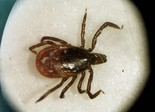 Lyme disease is transmitted to people via infected deer ticks which can lurk in grass and bushes inhabited by deer and mice. (AP File Photo)