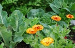 Calendula flowers, which can be grown with vegetables, make the garden more inviting to pollinators. Flowers can also make it easier to work vegetables into a front yard garden.