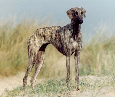 The Sloughi is a newly-recognized breed in the American Kennel Club's hound category,