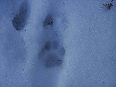 Bobcat track in snow Sussex county (Photo by John Parke)