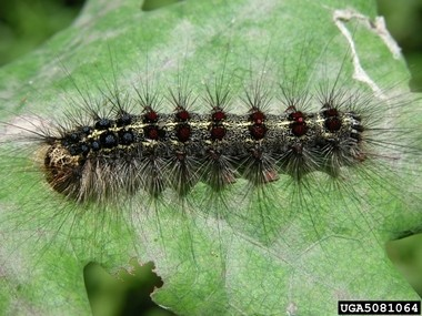 New Jersey Department of Agriculture surveys of 22 New Jersey municipalities have found areas in four towns in three counties that qualify for the state's 2015 Aerial Gypsy Moth Suppression Program. Eighty-seven acres in Lebanon Township in Hunterdon County were identified as qualifying for the spray program. Pictured is a gypsy moth. (courtesy photo)