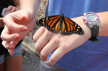 A monarch butterfly rests on the hand of an intern at the Stony Brook Millstone Watershed Association, after it was tagged during the 12th annual Insect Festival at the Mercer Educational Gardens in September 2014. (Mary Iuvone | For The Times)