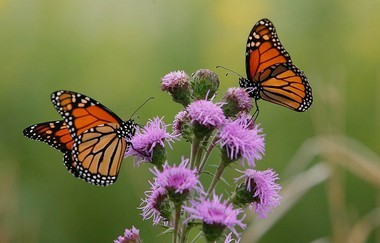 Two Monarch butterflies feed on a Blazing Star plant at the USDA Forest Service's Midewin National Tallgrass Prairie in Wilmington, Illinois, in this file photo. (George Thompson | Chicago Tribune/MCT)