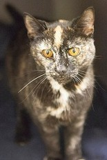 Grindle is Cat of the Week (Courtesy of Tabby's Place)