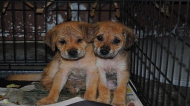 Two sick and unproperly cared for pups riddled with mange were rescued from Swainsboro by Home For Good Dog Rescue staff. (courtesy photo)