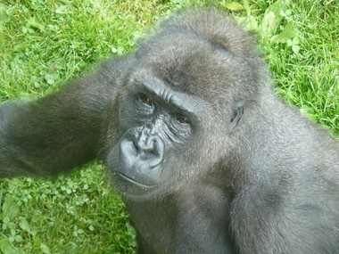 Honi, one of The Philadelphia Zoo's resident gorillas, poses for the camera.