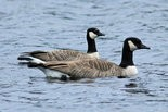 Cackling goose, left, with Canada goose