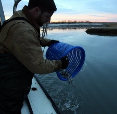 "Gregg scatters a handful of small oysters into the water above his beds, what he calls ""seeding the bay."""