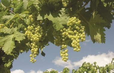Ugni blanc grapes are one of the varieties that create the base wines for cognac.