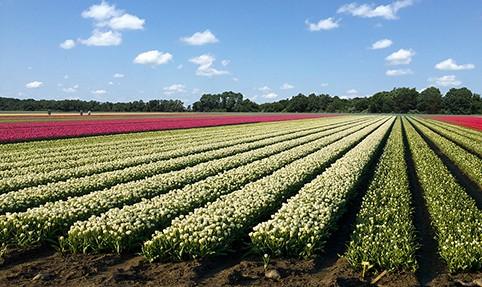Update Date Pushed Back To April 21 For Holland Ridge Farms Tulip Festival Nj Com