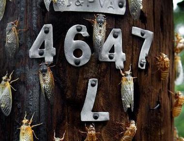 Cicadas climb up a telephone pole, May 16, 2004, in Annandale, Va.