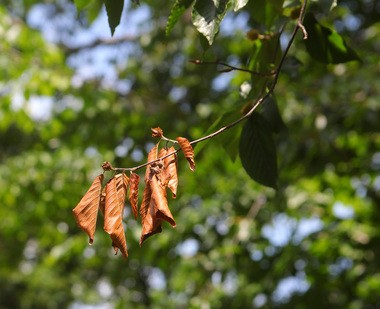 Clumps of dried, brown leaves have begun showing up on campus at Drew University. Contrary to the belief that the clumps are signs of an early autumn, each clump actually represents the location of a cluster of cicada eggs.