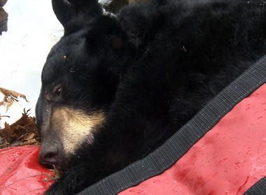 A tranquilized adult female bear outside her den in Vernon.