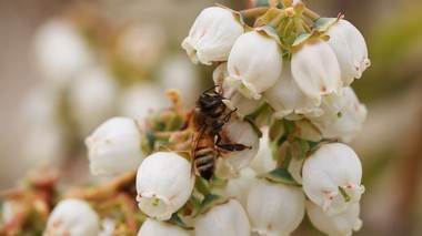 A bee pollinates a blueberry blossom in Hammonton, NJ. In the U.S. honeybee pollination increases crop value by about 15 billion each year. 5/07/14. (Photo by Adya Beasley | NJ Advance Media for NJ.com)