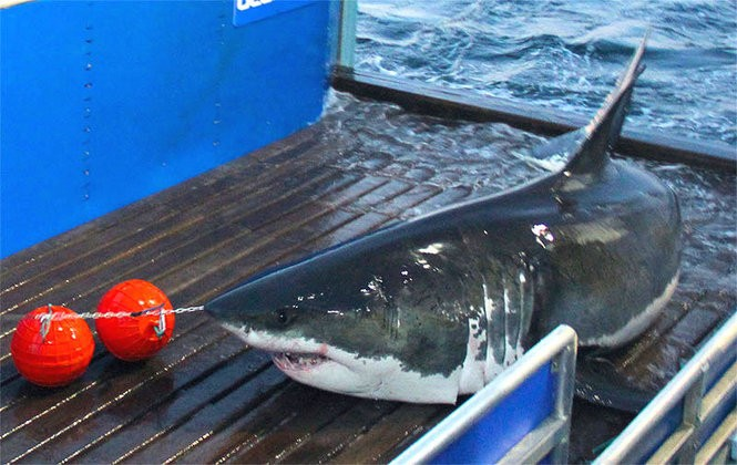 Meet the new sharks being tracked off Jersey Shore, East Coast by