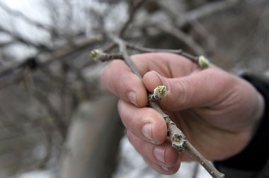 An apple tree bud. The warm weather may have kick-started the growing season, which could be a problem for New Jersey's fruit crops, experts warn. (Cindy Schultz | The Albany Times Union via AP/file photo)
