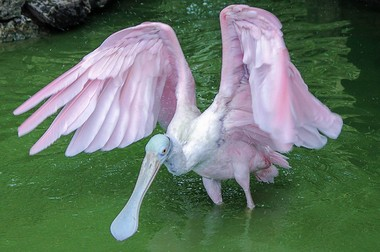 A roseate spoonbill is seen in this stock art photo. (Pixabay)