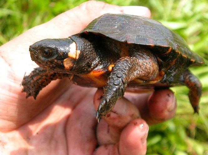 Cold-blooded and cute: Meet N J 's official state reptile